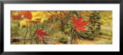 Maple Leaves Stuck On A Pine Tree Branch, Oregon, Usa by Panoramic Images Pricing Limited Edition Print image
