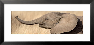 African Elephant Calf At Play by Panoramic Images Pricing Limited Edition Print image