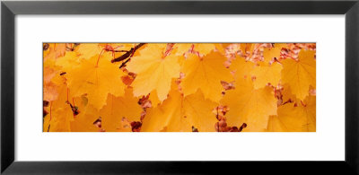 Maple Leaves On A Tree, British Columbia, Canada by Panoramic Images Pricing Limited Edition Print image