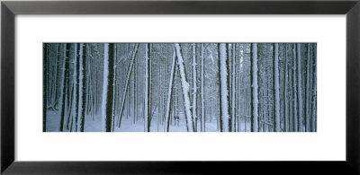Lodgepole Pine Trees Covered With Snow, Helena National Forest, Montana, Usa by Panoramic Images Pricing Limited Edition Print image