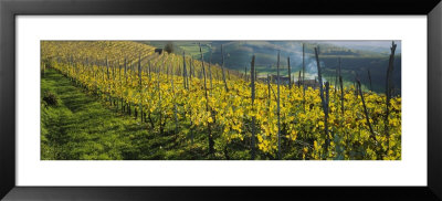Vineyards, Peidmont, Italy by Panoramic Images Pricing Limited Edition Print image