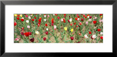 Tulip Flowers In A Garden, Holland, Michigan, Usa by Panoramic Images Pricing Limited Edition Print image