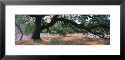 Oak Tree On A Field, Sonoma County, California, Usa by Panoramic Images Pricing Limited Edition Print image