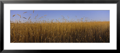 Crop In A Field, New York State, Usa by Panoramic Images Pricing Limited Edition Print image