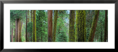 Cedars And Pines, Yosemite National Park, California, Usa by Panoramic Images Pricing Limited Edition Print image