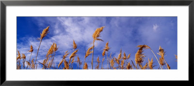 Wild Pampas Grass, Montana, Usa by Panoramic Images Pricing Limited Edition Print image