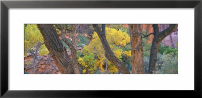 Cottonwood Trees In A Forest, Escalante National Park, Utah, Usa by Panoramic Images Pricing Limited Edition Print image