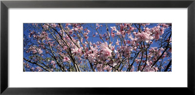 Magnolias, Golden Gate Park, San Francisco, California, Usa by Panoramic Images Pricing Limited Edition Print image