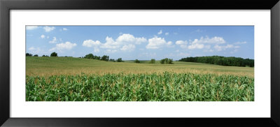 Corn Crop In A Field, Wyoming County, New York State, Usa by Panoramic Images Pricing Limited Edition Print image