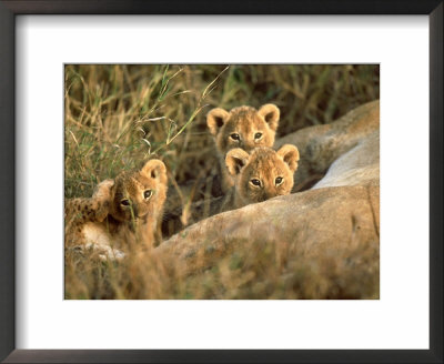 Trio Of Six Week Old Lion Cubs Looking Over Sleeping Mother, Masai Mara National Reserve Kenya by Adam Jones Pricing Limited Edition Print image