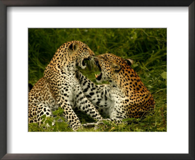 Pair Of Leopards Resting And Play Fighting by Beverly Joubert Pricing Limited Edition Print image