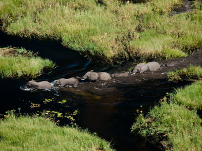 Aerial Of African Elephants In The Waters Of The Okavango Delta by Beverly Joubert Pricing Limited Edition Print image