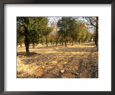 Planted Truffle Forest Field, La Truffe De Ventoux Truffle Farm, Vaucluse, Rhone, Provence, France by Per Karlsson Pricing Limited Edition Print image