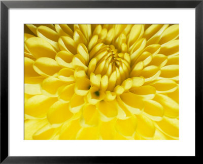 Close-Up Of A Yellow Chrysanthemum by Vlad Kharitonov Pricing Limited Edition Print image