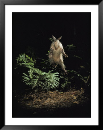 Fright Reflex Propels An Alarmed Armadillo Into The Air, Archbold Biological Station, Florida by Bianca Lavies Pricing Limited Edition Print image