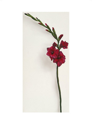 Red Gladioli by Kirsty Lorenz Pricing Limited Edition Print image