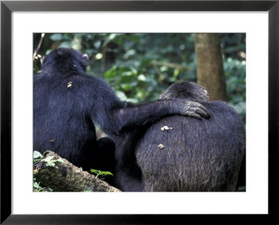Male Chimpanzee Seeks Another For Support, Gombe National Park, Tanzania by Kristin Mosher Pricing Limited Edition Print image