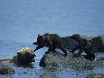 Brown Bear (Ursus Arctos) Sow With Cubs Playing In Water by Tom Murphy Pricing Limited Edition Print image