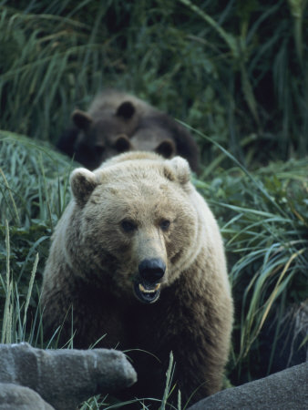 Bears In Tall Grasses by Tom Murphy Pricing Limited Edition Print image