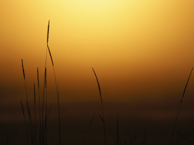 Stalks Of Grass Silhouetted At Sunset by Tom Murphy Pricing Limited Edition Print image