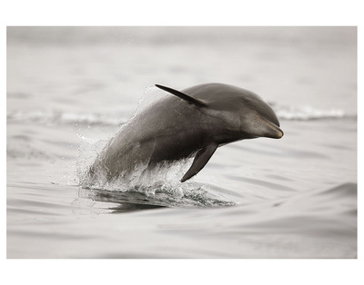 Curious Dolphin 2 by Steve Munch Pricing Limited Edition Print image