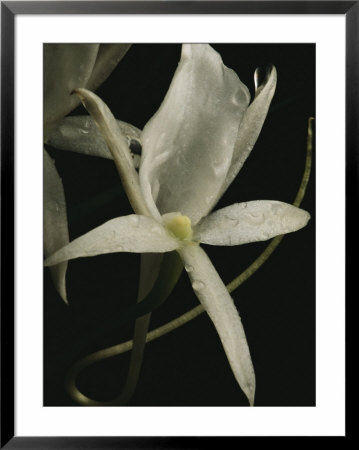 Close View Of A Delicate White Orchid Blossom by Michael Nichols Pricing Limited Edition Print image