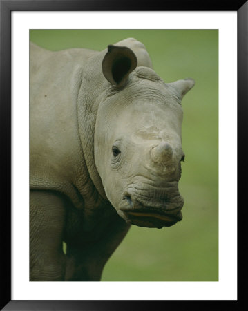 A Southern White Rhinoceros by Michael Nichols Pricing Limited Edition Print image
