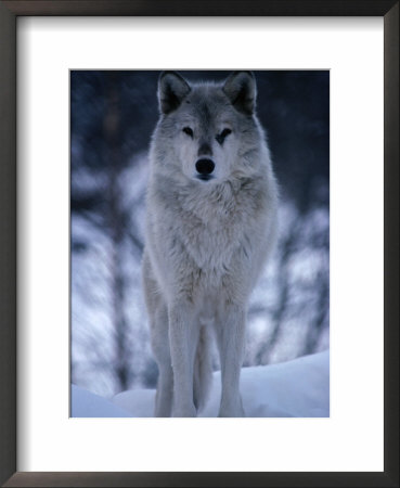Grey Or Timber Wolf (Canis Lupus) In The Alaskan Snow, Alaska, Usa by Mark Newman Pricing Limited Edition Print image