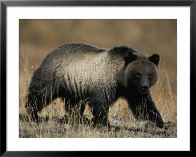 Grizzly Bear by Michael S. Quinton Pricing Limited Edition Print image