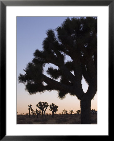 Silhouette Of Joshua Trees, Joshua Tree National Park, California by Rich Reid Pricing Limited Edition Print image