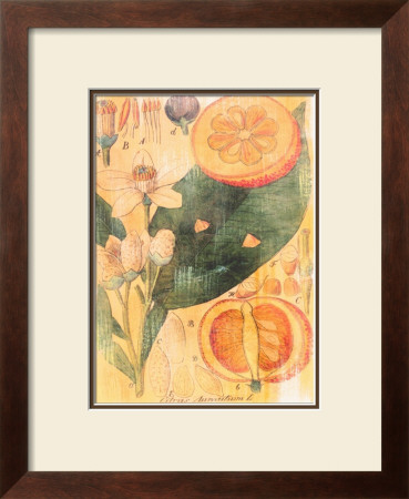 Citrus Aurantium by Thea Schrack Pricing Limited Edition Print image