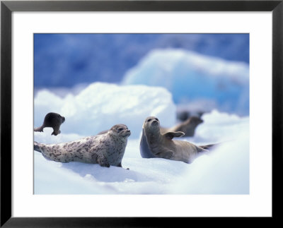 South Sawyer Glacier Harbor Seals On Icebergs, Tracy Arm, Inside Passage, Alaska, Usa by Paul Souders Pricing Limited Edition Print image