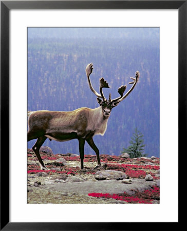 Woodland Caribou On A Ridge During Fall Migration, Quebec, Canada by Charles Sleicher Pricing Limited Edition Print image