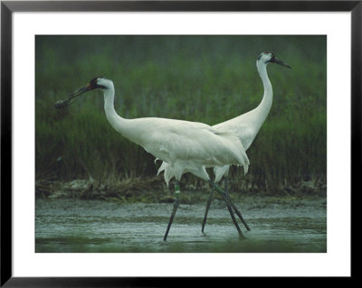 Two Whooping Cranes At The Refuge by Joel Sartore Pricing Limited Edition Print image