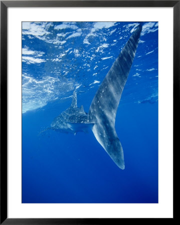 A Tail-End View Of A Whale Shark by Brian J. Skerry Pricing Limited Edition Print image