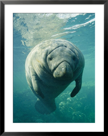 A Portrait Of A Florida Manatee by Brian J. Skerry Pricing Limited Edition Print image