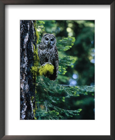 Spotted Owl Perched On A Mossy Tree Branch by Phil Schermeister Pricing Limited Edition Print image