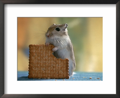Gerbil Eating Biscuit by Steimer Pricing Limited Edition Print image