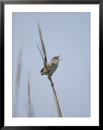 Marsh Wren Singing In Beach Grasses At Money Island, New Jersey by Joel Sartore Pricing Limited Edition Print image
