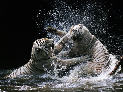 White Bengal Tigers Play Fighting In Water, India by Anup Shah Pricing Limited Edition Print image