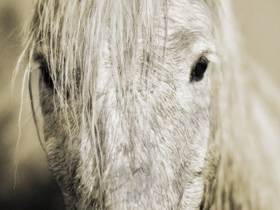 Close Up Of A White Camargue Horse In Arles, France by Scott Stulberg Pricing Limited Edition Print image