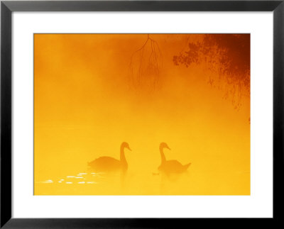 Mute Swan, Uk by David Tipling Pricing Limited Edition Print image