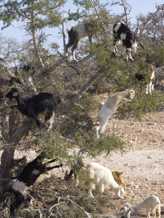 Goats Eat The Fruit Of Argan Tree, Seeds Retrieved From Waste - Ground Up, Turned Into Argan Oil by Natalie Tepper Pricing Limited Edition Print image