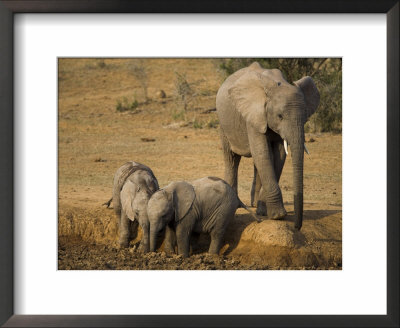 Baby Elephants, Loxodonta Africana, Playing At Wallow In Addo Elephant National Park, Eastern Cape by Steve & Ann Toon Pricing Limited Edition Print image