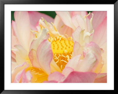 Lotus With Ruffled Petals, Perry's Water Garden, Franklin, North Carolina, Usa by Joanne Wells Pricing Limited Edition Print image