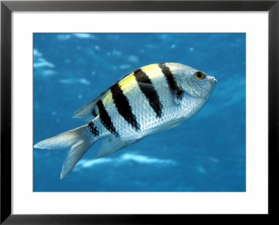 Sargeant Major Fish, St. Johns Reef, Red Sea by Mark Webster Pricing Limited Edition Print image