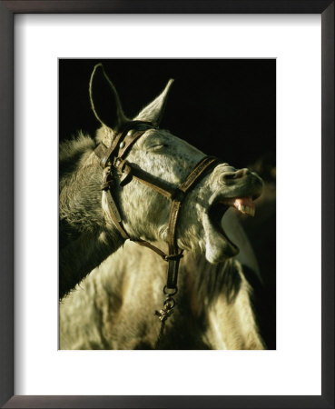 A Bridled Pack Mule Yawning by Gordon Wiltsie Pricing Limited Edition Print image