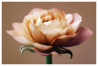 The Perfect Rose by Christine Zalewski Pricing Limited Edition Print image
